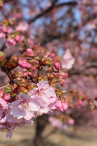 松ヶ崎城跡の河津桜 - 燕雀の夢