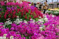 京都府立植物園早春の草花展2019 - ぴんぼけふぉとぶろぐ2