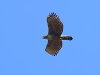 今日のクマタカ20190302 - 『彩の国ピンボケ野鳥写真館』