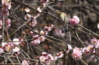 ニシオジロビタキ03月02日 - 旧サンヨン野鳥撮影放浪記