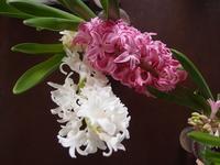花の終わったヒヤシンスを土の中に - ふたりで暮らす