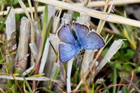 3月2日新生ウラナミシジミ - 蝶と自然の物語