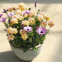 オステオスペルマムとネメシアの寄せ植え - さにべるスタッフblog     -Sunny Day's Garden-