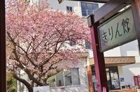 河津桜と吊るし雛@河津町・きりん館 - たんぶーらんの戯言