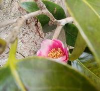 最後の花… - 侘助つれづれ