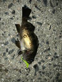 春が来て、あの魚が爆釣‼️ - 広島の〜中学生Seabass angler