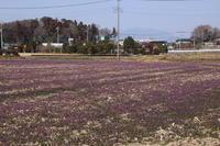 紫の絨毯 (2019/3/2撮影) - toshiさんのお気楽ブログ