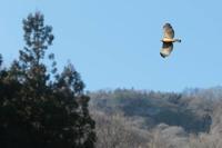クマタカ(その7) - 上州自然散策2