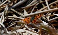弥生3月 - 紀州里山の蝶たち