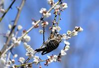 梅にコゲラ - 旅のかほり