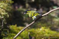 久々のマヒワ - 奥武蔵の自然