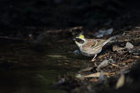 ミヤマホオジロ4分間の光と影 - 気まぐれ野鳥写真