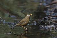 池の端で⑮ガビチョウ (外来種) - 気まぐれ野鳥写真
