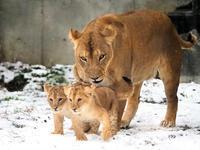 雪の中のライオンっ子 - 動物園放浪記