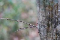 越冬トンボ観察-23近場のホソミオツネントンボ -2 - オヤヂのご近所仲間日記