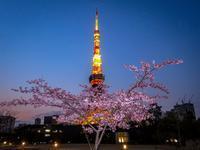 2019.3.1河津桜と東京タワー(芝公園) - ダイヤモンド△△追っかけ記録