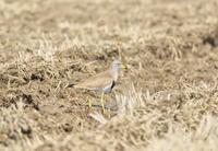 初春の田んぼ巡り - ひとり野鳥の会