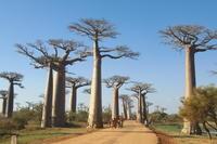 マダガスカル(その1)- モロンダバ近郊のバオバブ街道 - oto-のPhoto Gallery