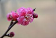 雨降りの梅の花 - 近隣の野鳥を探して