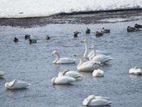 白鳥 - こもれびの森