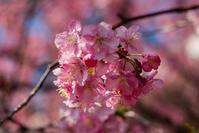 彼岸桜が咲いた - 彩りの軌跡