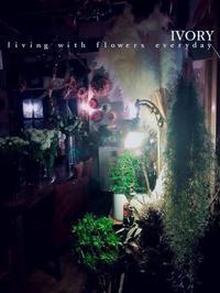 不思議 -  Flower and cafe 花空間 ivory (アイボリー)