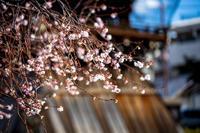 御会式桜!~妙蓮寺~ - Prado Photography!