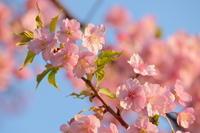 河津桜 - 錦眼鏡