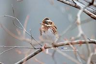 冬枯れ 近いカシラダカ - azure 自然散策 ~自然・季節・野鳥~