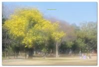 ミモザの大木 - toru photo box