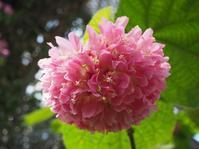 ボールのようなお花✿ - 神戸布引ハーブ園 ハーブガイド ハーブ花ごよみ