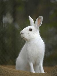 雨に濡れてトウホクノウサギ - bonsoir