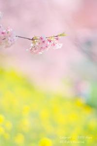 みなみの桜 - カメラをもってふらふらと