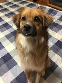 マーチ - 琉球犬mix白トゥラーのピカ