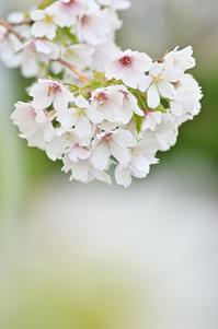 大島桜'19 - 123!