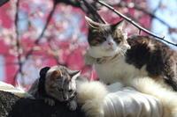 寒桜の木の上の猫 - 山とPANDA