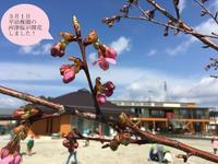 3月1日桜の花が咲きました - 平幼稚園ブログ&行事写真集