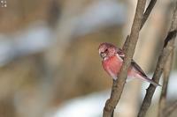 オオマシコオス - 野鳥公園