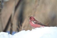 オオマシコ雪で戯れる - 野鳥公園