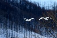 オオハクチョウ - Sakuの野鳥フォトアルバム