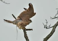 コチョウ♀ - 今日も鳥撮り