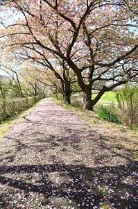 春の河桜と菜の花 - 123!