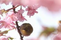 満開(河津桜) - 月の沙漠を