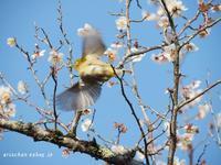 京都御苑のウメジロー2019♫ - アリスのトリップ