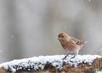 ひな祭りの日...オオマシコ - 野鳥...四季折々