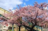 Prologue!桜咲く京都桃山駅の桜 - 花景色-K.W.C. PhotoBlog