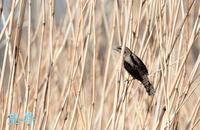 このフィードは広大なので、一羽のアリを探すのは大変です、BATO運良く見つけ撮影する事ができ、嬉しいです。誠( ´艸`) - 皇 昇