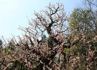 梅花展と野鳥 - 絵と庭