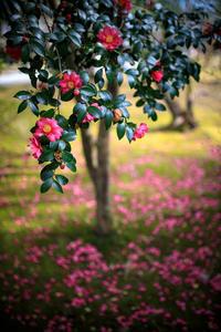 山茶花!~御室仁和寺~ - Prado Photography!