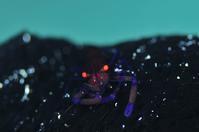 ウミウシカクレエビ - 沖縄 ダイビング 水中写真 フォトギャラリー